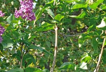 Journal du 16 octobre 2009 quand les poiriers et les - Quand tailler les lilas ...