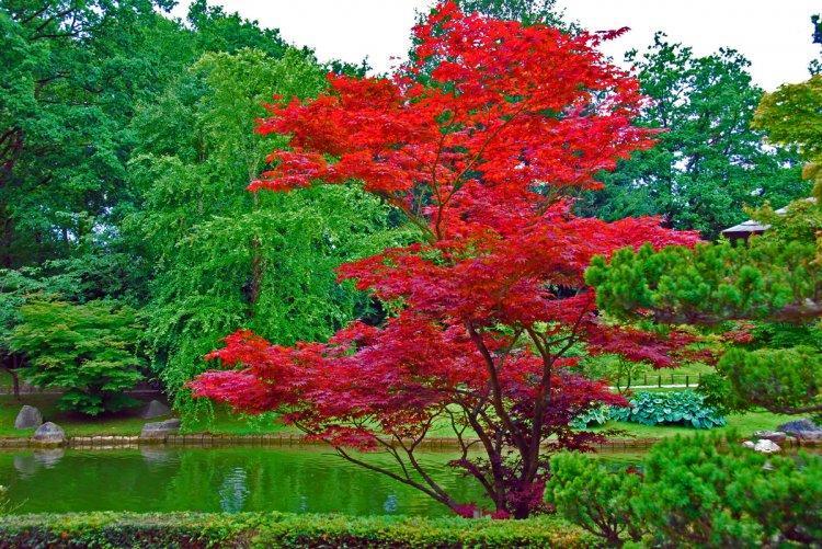 Erable du japon lire for Arbre pour petit jardin
