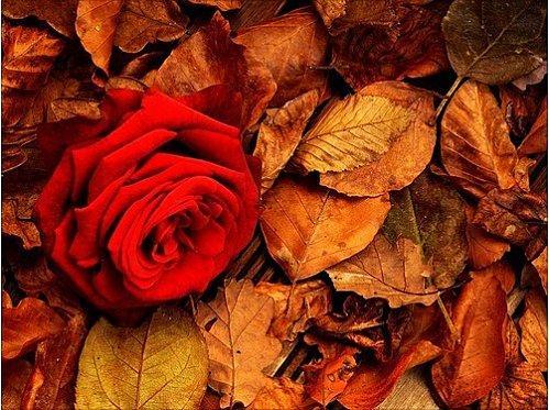 rose-novembre-L-1