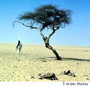 Tree_of_tenere_1