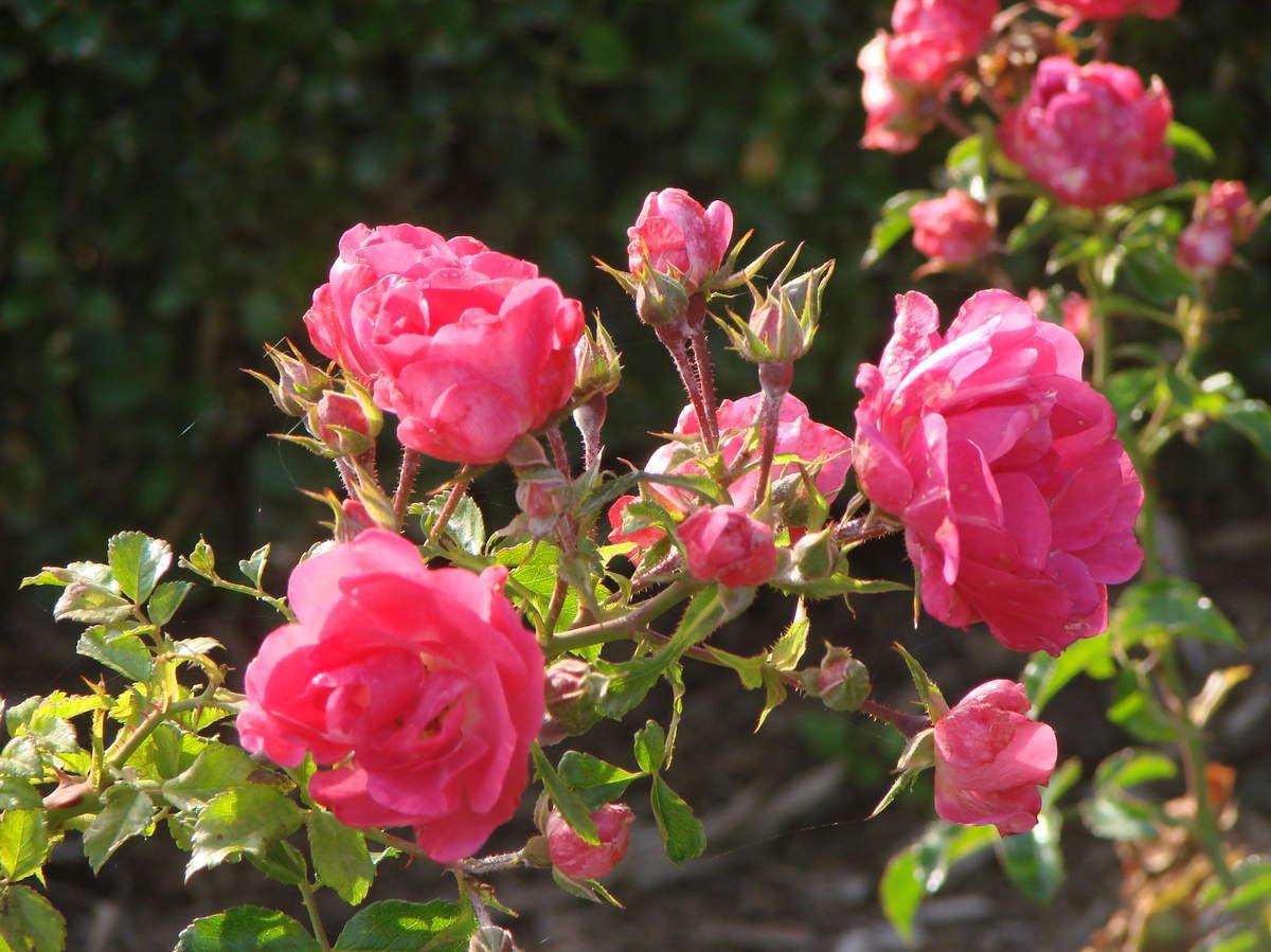 Les fleurs des jardins
