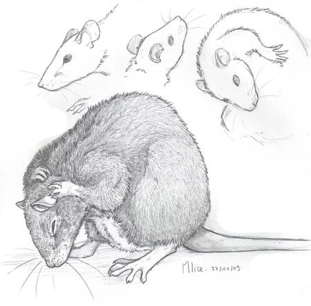 Pardooon bis d couvrir - Dessin d un rat ...