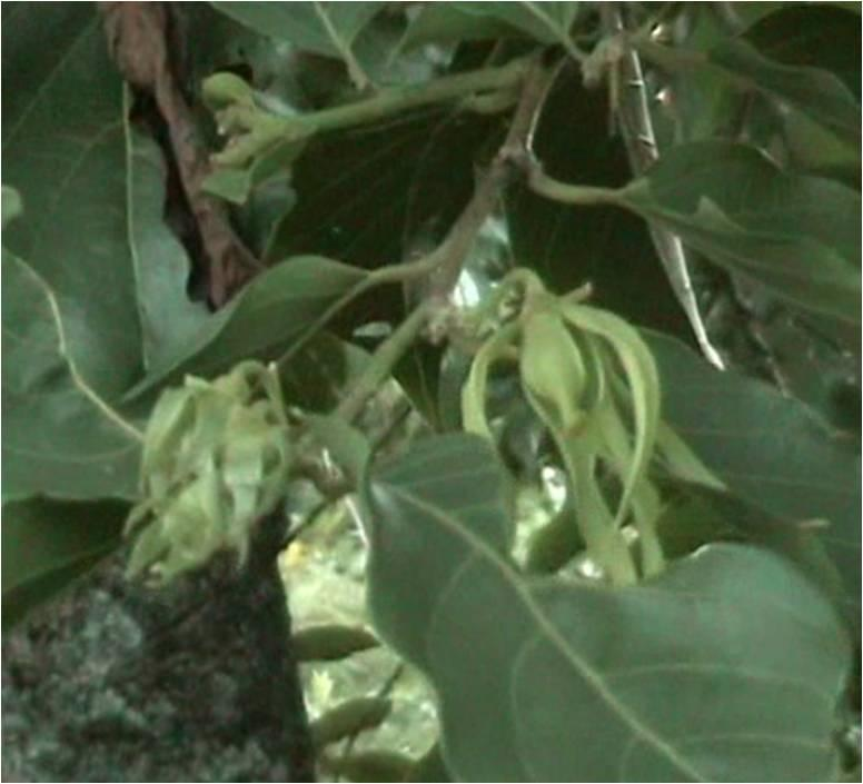 L ylang ylang et autres richesses des comores voir for Plante ylang ylang
