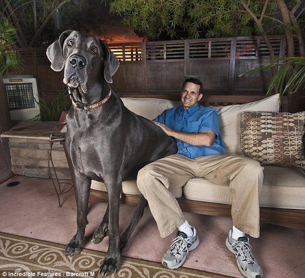 http://media.paperblog.fr/i/265/2655936/george-grand-chien-monde-L-1.jpeg