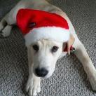 thumbs les animaux deguises en pere noel 019 Les animaux déguisés en Père Noël (100 photos)