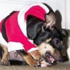 thumbs les animaux deguises en pere noel 023 Les animaux déguisés en Père Noël (100 photos)