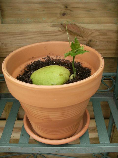 Cristophine courgette chayotte ou chouchou paperblog - Comment planter les courgettes ...
