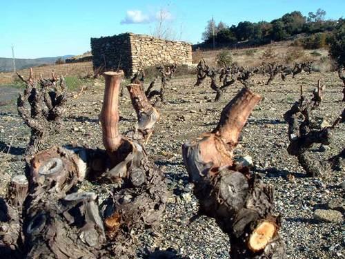La taille de la vigne au pays des brouilly les brouilly - Taille vigne raisin de table ...