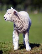 Mouton, Richard Morgiève
