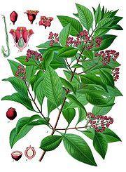 Santal branche, fleurs et graines