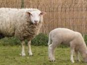 Même moutons dents chez Richard Morgiève