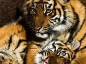 tigre comme animal compagnie