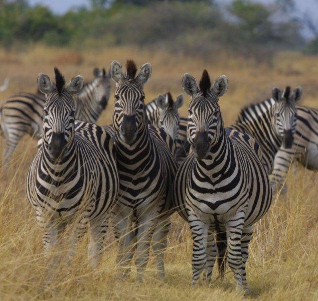 7-images-zebres-g.1264599008.jpg