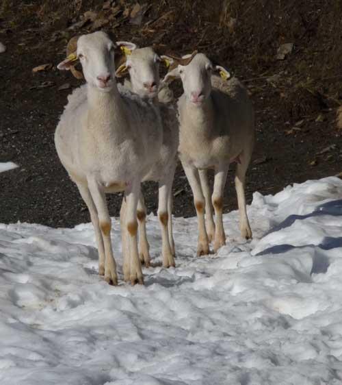 moutons sur neige