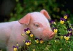 Cochon dans les fleurs.jpg