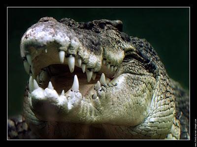 Larmes de crocodile !!