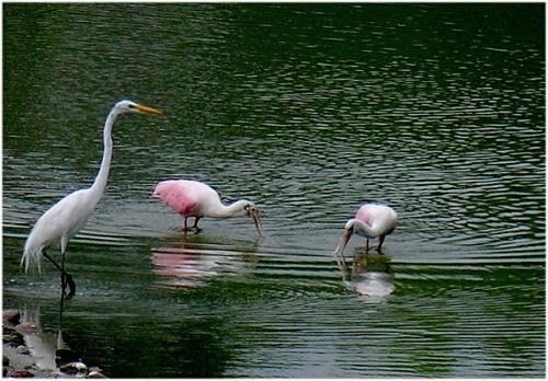 Bresil-Pantanal-S-Heron-Cocoi-Spatules1.jpg