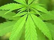 chanvre (cannabis)