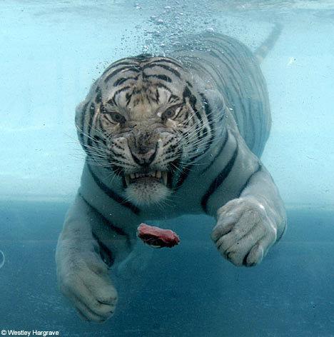 http://media.paperblog.fr/i/286/2866297/tigre-blanc-hurle-vents-levent-L-1.jpeg