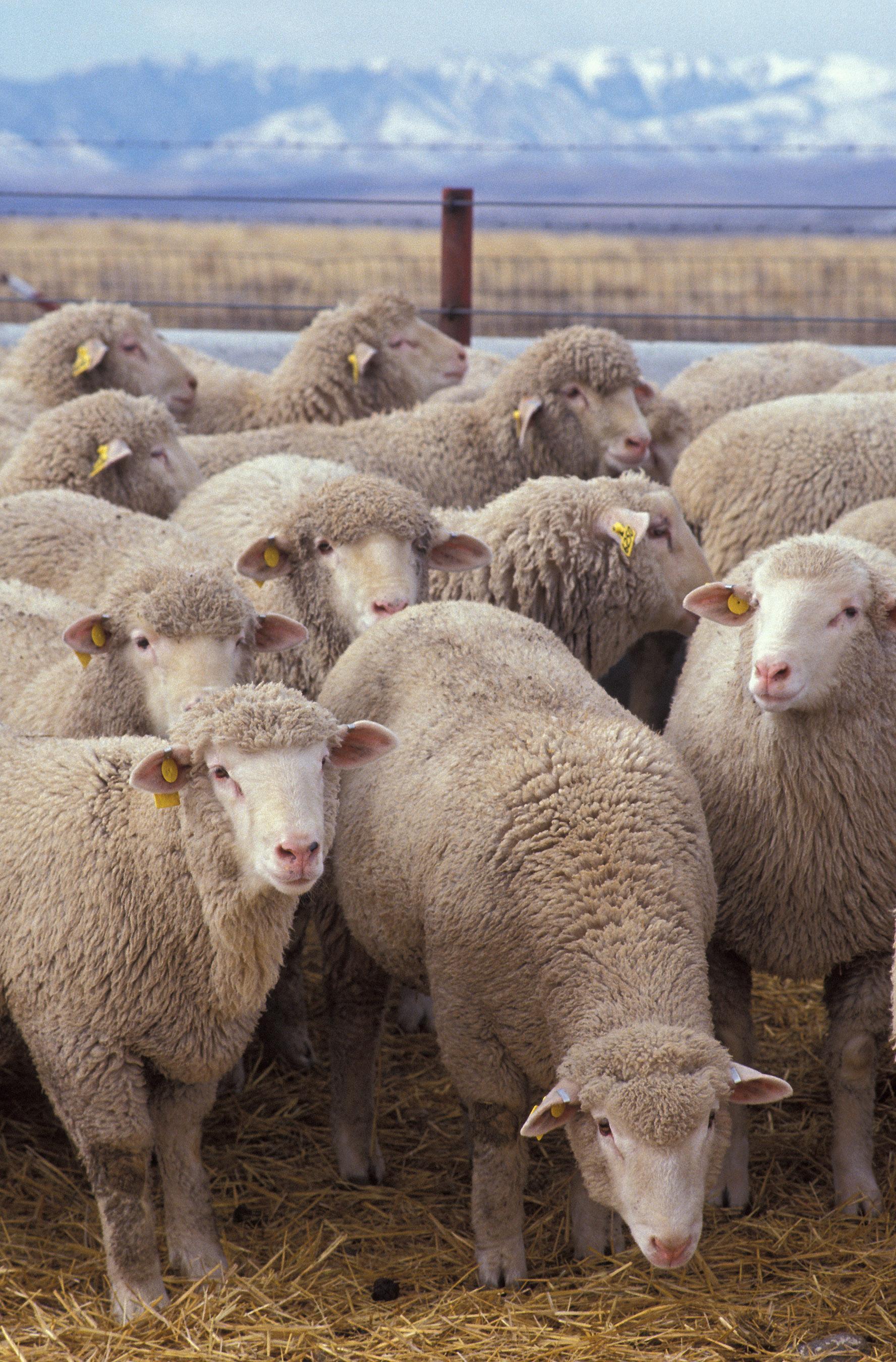 """L'image """"http://www.agoravox.fr/IMG/Moutons.jpg"""" ne peut être affichée car elle contient des erreurs."""