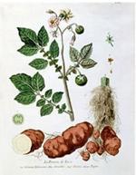 vieille patate