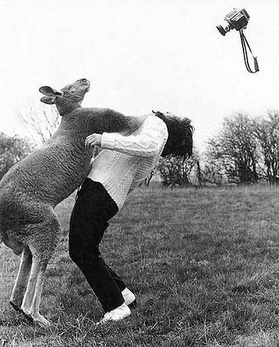 Aaaah ça, il ne faut pas emm... un kangourou !