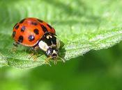 coccinelle asiatique devenue insecte nuisible