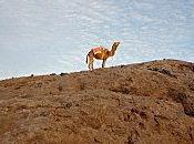 Sahara blues dromadaire