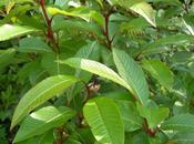 Salix Fargesii, juste pour Miss Canthus
