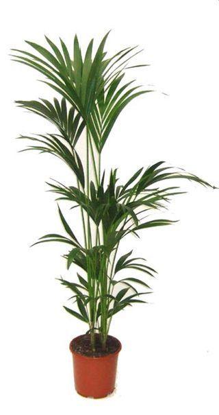 Une plante verte pour la f te des m res voir for Plante kentia