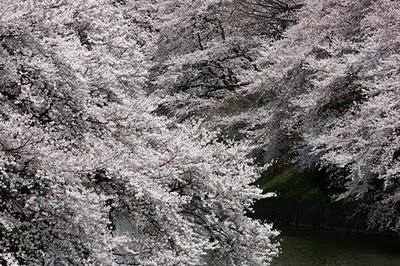 Fond écran de cerisier en fleur et du Japon - Paperblog