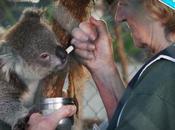 Australie l'hôpital koalas