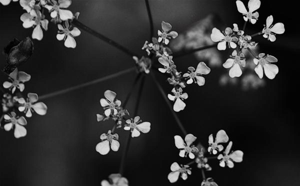 fleurs-noir-blanc-zoom.jpg