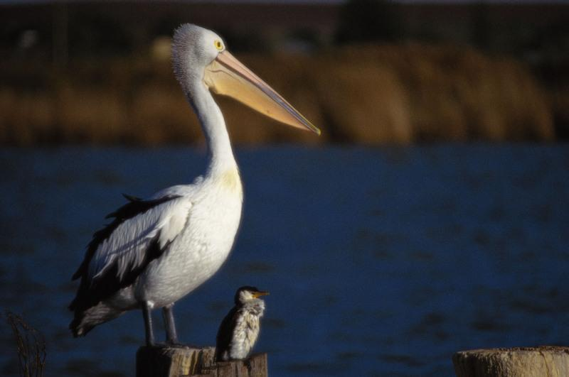http://media.paperblog.fr/i/339/3391223/pelican-jonathan-robert-desnos-L-1.jpeg