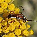 Des coléoptères minces à longues antennes sur des apiacées...