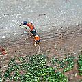 Les staphylins sont attirés par les nids de fourmis...