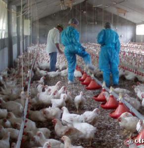 Élevage de porcs et de volailles : le Parlement refuse d'alléger la réglementation