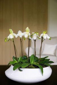 Des orchid es blanches voir - Peut on couper les racines des orchidees ...