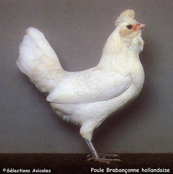La mue un test de s lection pour les pondeuses lire for Duree de vie des poules pondeuses