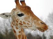 L'Opéra girafes (Jacques Prévert)