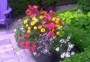 Que ce soit une fleur annuelle ou vivace traiter la avec le meilleur engrais qui soit voir - Pensee fleur vivace ou annuelle ...