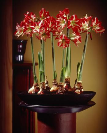 Planter des bulbes de fleurs paperblog for Amaryllis plantation en pot