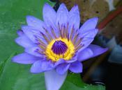 fleur L'étoile caillou (François David)