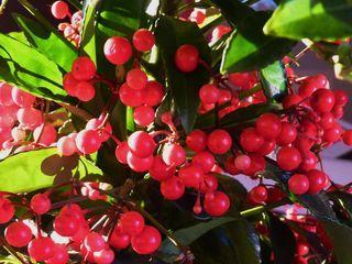 Ardisia plante de no l paperblog for Plante de noel