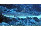Attaque Requins Baie Citrons