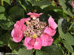 Quand et comment tailler des hortensias d couvrir - Quand rentrer les geraniums ...