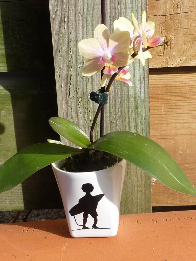 Orchid e quand la tasse fait le vase voir - Quand rempoter une orchidee ...