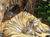 Caresser tigres Chiang (Vidéo)