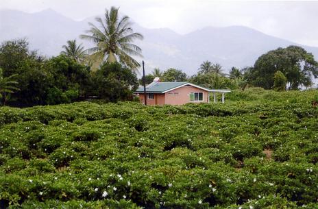 tahiti-champ-de-tiare.1202032069.jpg