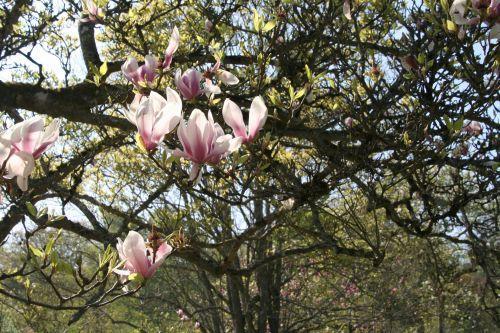 comment planter un magnolia voir. Black Bedroom Furniture Sets. Home Design Ideas